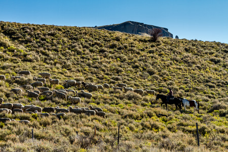 in herding: Basque sheepherder on horse back herding large flock of sheep on mountain side filled with sage brush on sunny fall morning