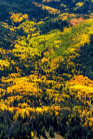 pine trees: Overlook of mountain slopes filled with changing yellow and green Aspen trees and dark green pine trees on sunny fall morning