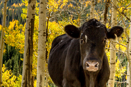 black angus cattle: Close up of black angus cow in yellow Aspen forest on sunny fall afternoon Stock Photo