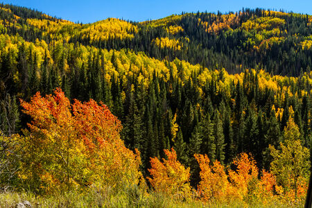 pine trees: Close up of mountain slopes filled with changing yellow and green Aspen trees and dark green pine trees on sunny fall morning Stock Photo