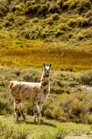 spoted: Adult llama with spoted coat standing in mountain meadow on sunny fall afternoon