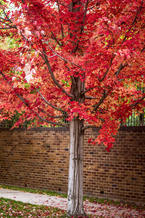 red maple leaf: Brightly colored red maple leaf tree in front of brick wall on autumn afternoon