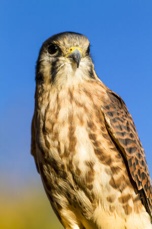 Female Kestrel Falcon perched on tree branch in early morning sunlight with clear blue sky