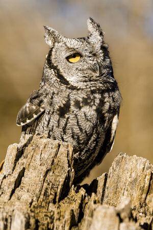 Western Screech Owl sitting on tree stump in early morning sunlight photo