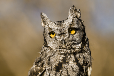 Close up of Western Screech Owl sitting on tree stump in early morning sunlight photo