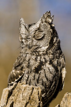 Western Screech Owl sitting on tree stump in early morning sunlight with eyes closed photo