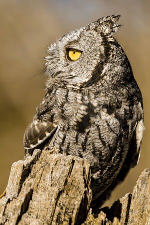 Side view of Western Screech Owl sitting on tree stump in early morning sunlight photo