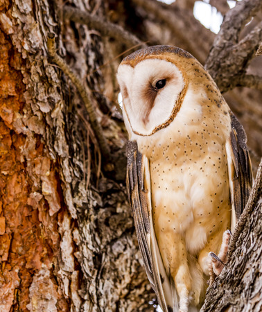 Common barn owl perched in large tree on winter morning