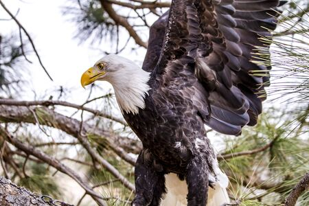 white headed: Profile of American Bald Eagle flapping wings in tree on winter morning