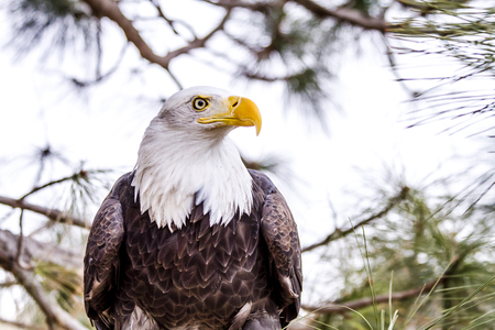 white headed: Profile of American Bald Eagle sitting in tree on winter morning Stock Photo