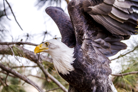 white headed: American Bald Eagle flapping wings in large tree Stock Photo