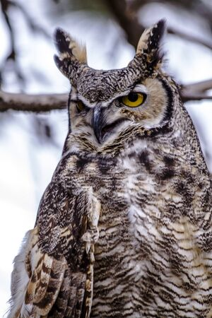 nocturnal: Female Great Horned Owl perched in tree on winter morning