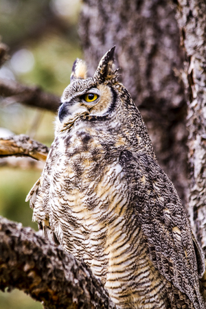 virginianus: Profile of female Great Horned Owl sitting in large tree on winter morning