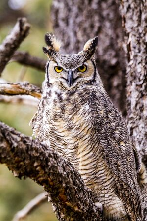 virginianus: Female Great Horned Owl perched in tree on winter morning