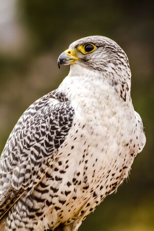 falco peregrinus: Silver Gerfalcon sitting on large rock on winter morning