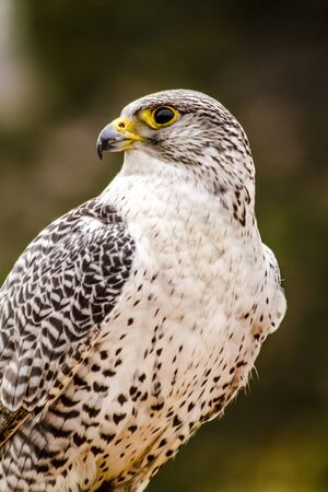 year profile: Silver Gerfalcon sitting on large rock on winter morning