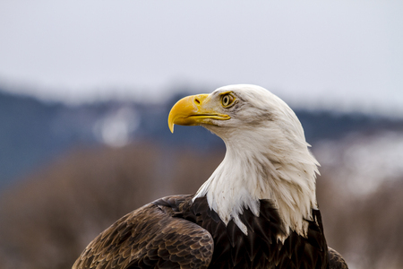 white headed: Profile of American Bald Eagle sitting on large rock on winter morning