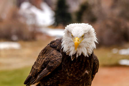 white headed: American Bald Eagle sitting on large rock on winter morning