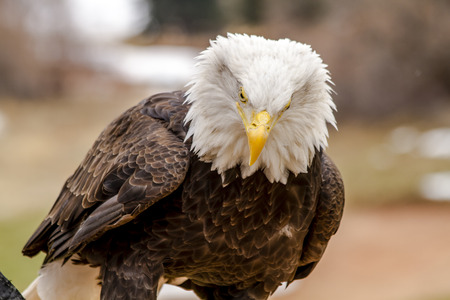 American Bald Eagle sitting on large rock on winter morning