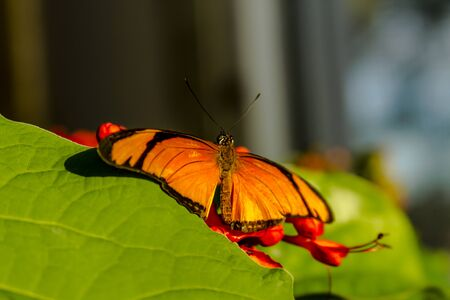 Tiger swallowtail butterfly sitting on orange flowers in morning sunlight photo