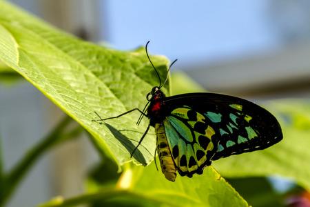 Goliath birdwing butterfly sitting on green leaf in morning sunlight photo