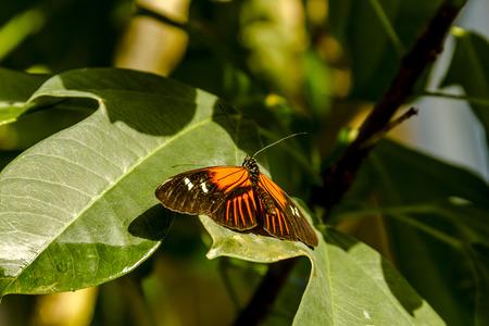 Doris longwing butterfly sitting on green leaf in morning sunlight photo
