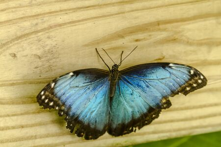 Common Blue Morpho butterfly sitting on wooden fence photo