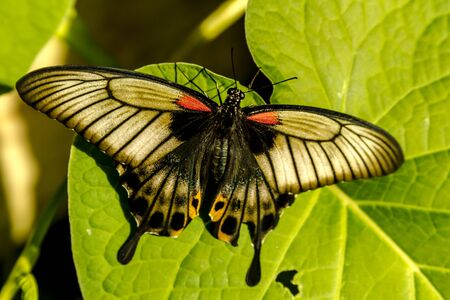 Black, white and red swallowtail butterfly sitting on green leaf in morning sunlight photo