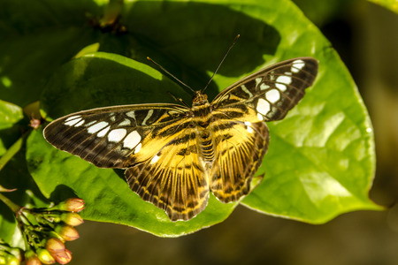 Painted lady butterfly sitting on green leaf in early morning sunlight photo