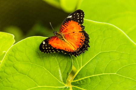 red lacewing butterfly sitting on green leaf in morning sunlight photo