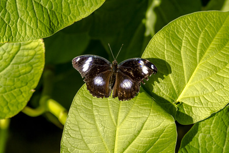 Great Eggfly butterfly sitting on green leaf in early morning sunlight photo