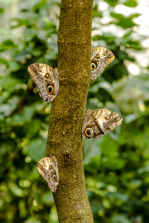 Group of owl butterflies hanging onto tree branch in tropical rainforest photo