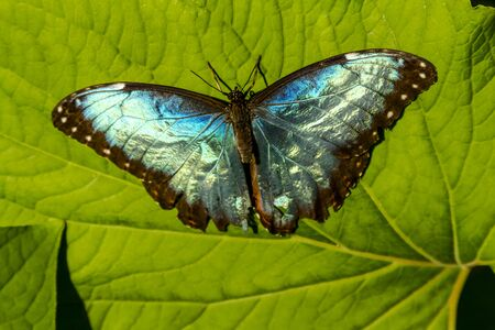 Common Blue Morpho butterfly sitting on green leaf in early morning sunlight photo