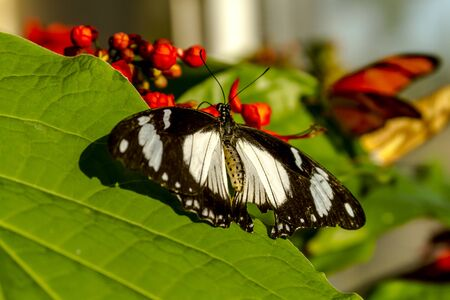 Blue banded morpho butterfly sitting on green leaf in early morning sunlight photo