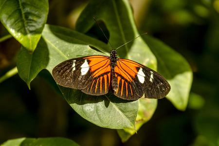 Doris longwing butterfly sitting on green leaf in early morning sunlight photo
