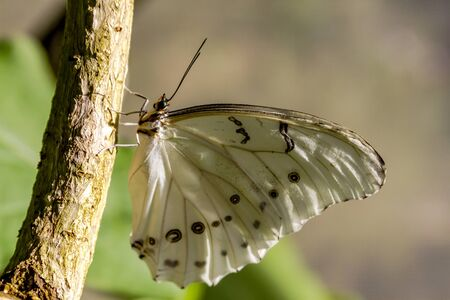 White morpho butterfly hanging onto tree branch in early morning sunlight photo