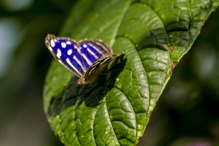 Blue banded purplewing butterfly sitting on green leaf in early morning sunlight photo