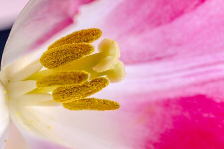 Macro shot of inside of pink and white tulip bloom