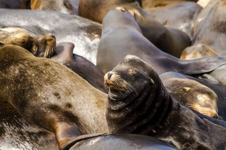salmon run: Close up of sea lions and seals resting on piers in river off coast of Pacific ocean