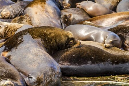 Close up of sea lions and seals resting on piers in river off coast of Pacific ocean