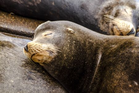Close up of sea lion  resting on pile of other sea lions on piers in river off coast of Pacific ocean