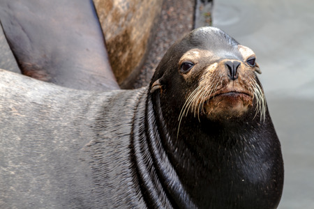 salmon run: Close up of sea lion posing in sun on pier in river off northwest coast of the Pacific ocean Stock Photo