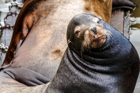 Close up of sea lion posing in sun on pier in river off northwest coast of the Pacific ocean Stock Photo
