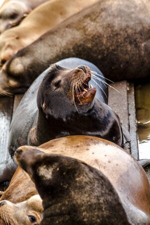 Close up of sea lion posing in sun with mouth open on pier in river off northwest coast of the Pacific ocean