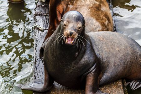 salmon run: Close up of sea lion posing in sun  with mouth open on pier in river off northwest coast of the Pacific ocean