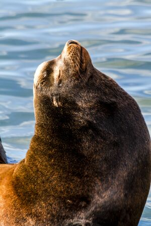 Close up of sea lion posing on pier in river off northwest coast of the Pacific ocean
