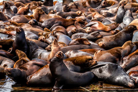 pacific ocean: Many sea lions and seals resting on piers in river off coast of Pacific ocean Stock Photo