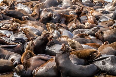 salmon run: Many sea lions and seals resting on piers in river off coast of Pacific ocean Stock Photo