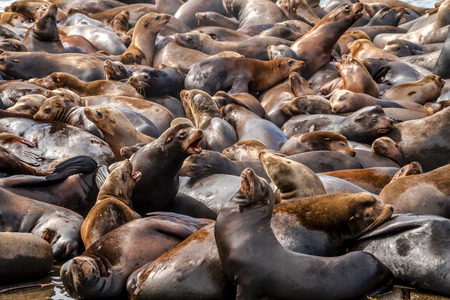 Many sea lions and seals resting on piers in river off coast of Pacific ocean Stock Photo