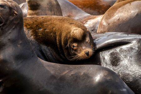 Close up of sea lion resting on pile of other sea lions on pier in river off northwest coast of the Pacific ocean